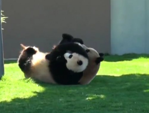 WATCH THIS MAMA PANDA PLAYFULLY WRESTLE WITH HER CUBby Blaire Bercy http://bit.ly/X15XvZ