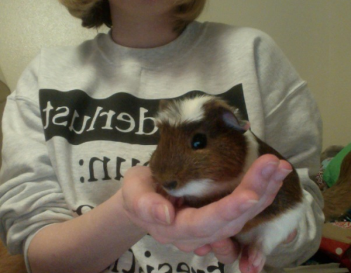 khepur:  Surprise! New piggie! I got him for free because his owner was running out of cage room.  I honestly can't think of any names omg  I think chuckles would be good :)