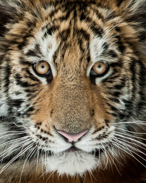 Young Tiger by Justin Lo on 500px