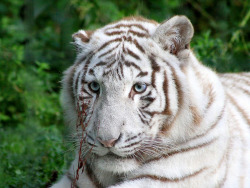 llbwwb:   For the Tiger Lovers:) Tigre blanc né en mai 2010 (Explorer #396 - 2011-08-20) (by home77_Pascale)