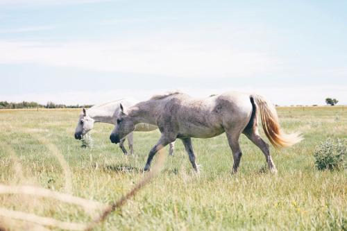 Field Friends.Society6 | instagram #horses#equine#lensblr #photographers on tumblr #horse photography#beauty#summer adventures#prairies#explore sask#saskatchewan#field friends#team canon#lux lit#animals#animal photography#photography#DaniMarie