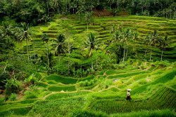 Teggallalang Rice Terrace ♦ Bali, Indonesia | by Ed Lowe