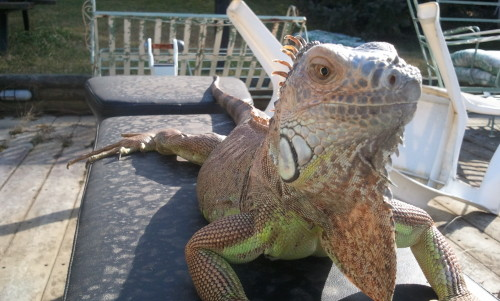 My beautiful green iguana Marley on one of our first trips outside.
