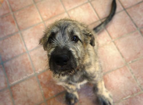 fuckyesirishwolfhounds:  heeler-and-the-hound:  this. face.  Such a gorgeous pup!