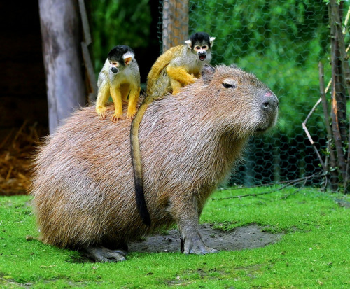 animals-riding-animals:  monkeys riding capybara