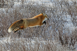 "theicekingdom:  Red Fox ""Up and Away"" by Betty Rizzotti on Flickr"