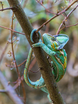 giraffe-in-a-tree:  Pretty chameleon on the branch by Tambako the Jaguar on Flickr. simply wonderful!!! That's perfect heyy… What do you think?