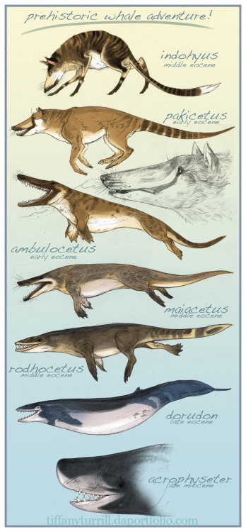 lostbeasts:  gallantcannibal:  Prehistoric whale evolution, illustrated by Tiffany Turrill.  Ambulocetus, my sweet baby