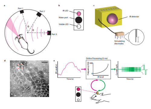Neuroprosthesis Lets Rats Sense Infrared LightSensory neuroprostheses show great potential for alleviating major sensory deficits. It is not known, however, whether such devices can augment the subject's normal perceptual range.But now, researchers have shown that adult rats can learn to perceive otherwise invisible infrared light through a neuroprosthesis that couples the output of a head-mounted infrared sensor to their somatosensory cortex (S1) via intracortical microstimulation.Read more: http://www.laboratoryequipment.com/news/2013/02/neuroprosthesis-lets-rats-sense-infrared-light
