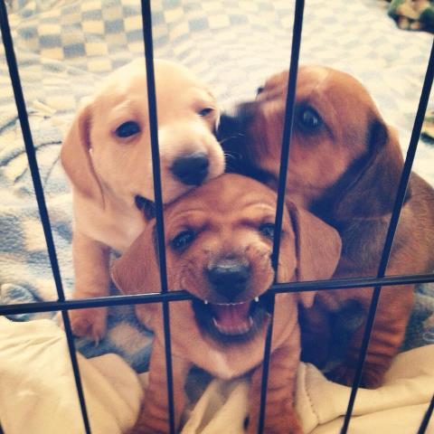 "thefluffingtonpost:  Notorious Puppy Gang Finally Behind Bars After an epic crime spree that spanned two months and three states, the puppy gang known as Wolf Pact has been apprehended in Texas, according to authorities there. Sources on the ground say the Pact was holed up in a shed after stealing the slippers of area resident Margaret Mallone. ""I had never heard of this gang,"" Mallone tells The Fluffington Post in an exclusive interview. ""Then I happened to turn on the news and saw my own backyard on TV. There were police everywhere. That's when I noticed my slippers were missing."" Authorities apprehended the trio without incident after receiving an anonymous tip from a neighbor. ""The standoff lasted about an hour,"" says sheriff's deputy John Beck. ""At first, they weren't cooperating, but then officer Sanders shook a bag of treats. They caved pretty soon after that and we scooped them up."" The Wolf Pact, consisting of Rex (the presumed ringleader), Tango and Clyde, was wanted for a string of similar alleged crimes, including sock chewing and flagrant urination. They will be arraigned individually in Federal court on May 14th, according to officials. Via HandlesOfLove."