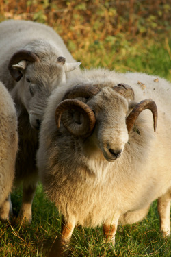 eligraphix:  gloomytreehouse:  Morning sheep (by D Pimborough)  ❤