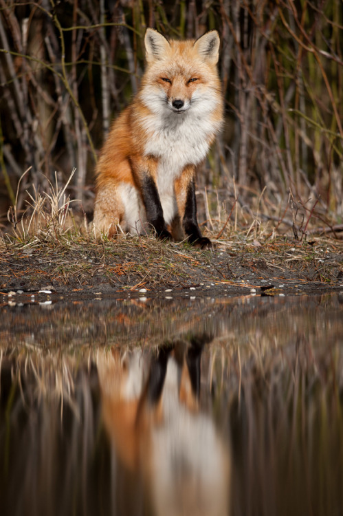 animalkingd0m:  Red Fox Reflection by Ray Hennessy