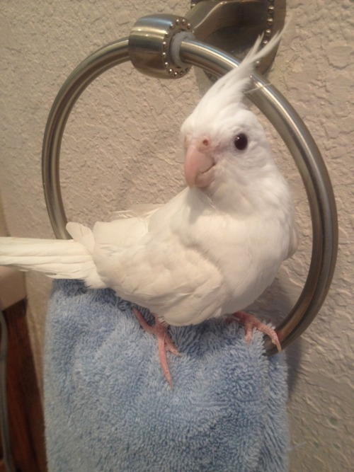 sweetiesugarbird:  The hand-towel holder was always destined to be a perch for birb