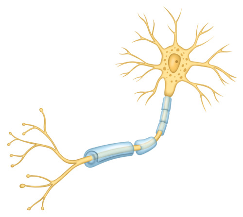 kristinmountillustration:  Quickie neuron illustration for an Anatomy and Physiology book years ago. It was done in Illustrator v5.0 and Photoshop v.4.0 in around 1996. The blue-ish cylinder-like wrappers around the nerve axon are fatty myelin sheaths, which help conduct nerve impulses along the axon toward the synapses to other nerves. In the disease multiple sclerosis, myelin is damaged and scarred- a process that is known as demyelination. The reduction or loss of nerve impulse transfer results in the hallmark symptoms of MS- loss of sensation, movement, and cognition. Often the first nerve to demyelinate in MS is the optic nerve, which is why often vision problems are an early symptom of MS.