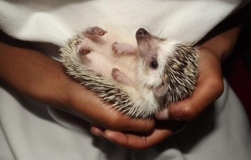 lola-the-hedgehog:  Just sitting here chillin!