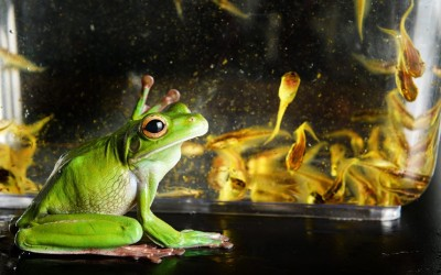 Fredette the white-lipped green tree frog with a tank full of tadpoles at Roaming Reptiles in Geelong, Australia.  Picture: Alex Coppel/Newspix / Rex Features