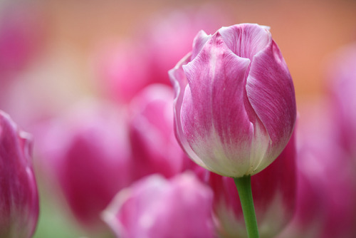 Tulip by Teruhide Tomori (◠‿◠) on Flickr.