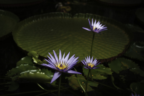 water lillies at Atenisi (photo tanya edwards)