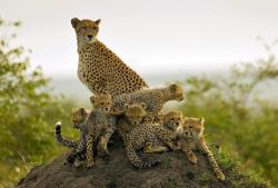 llbwwb:  Cheetah with six cubs !! by Albie Venter.