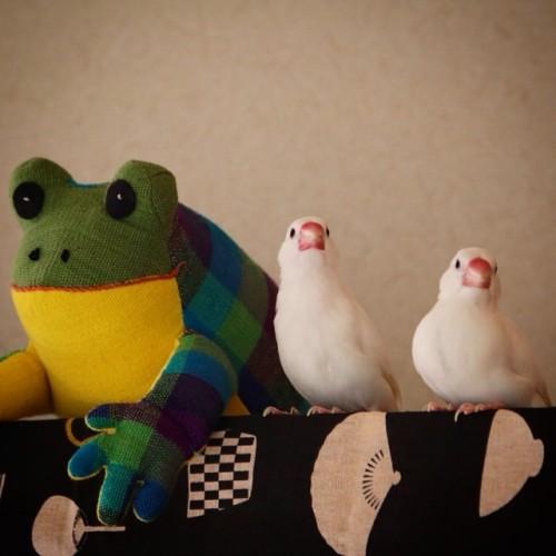 toru88:  せーれつ!ばんごう! 「けろっ」「ぴっ」「ぱぴっ」 #おさとうとおしお #文鳥 #白文鳥 #buncho