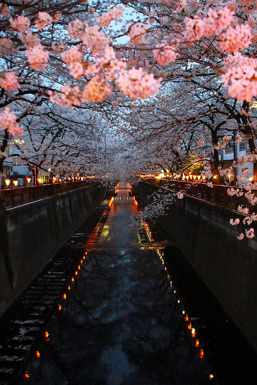 bluepueblo:  Cherry Blossom River, Kyoto, Japan photo via virage
