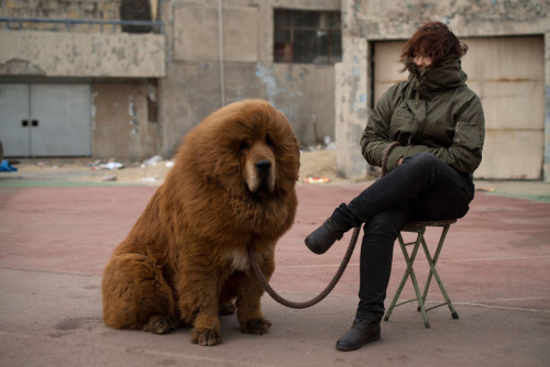 A Tibetan mastiff dog is displayed for sale at a mastiff show in Baoding, Hebei province, south of Beijing on March 9, 2013. Tibetan Mastiffs have become a prized status-symbol among China's wealthy, with rich buyers across the country sending prices skyrocketing.  ug