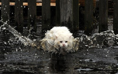 A cat braves deep water during spring floods in Belarus.  Picture: AFP/GETTY