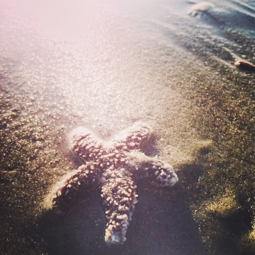 Not all stars belong in the sky, so she lives in the sea. #starfish #seastar #sea #ocean #sand #beach #beachcomb #emeraldisle #sun #sobx #star #coast #coastal #nc #nccoast #coastalnc #coastallife #coastalcarolina #northcarolina #crystalcoast #seashore #shore