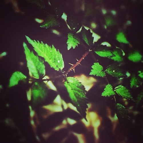 #thorns #tiny #leaves #shadows #nature #spring #park #walking #macro #green