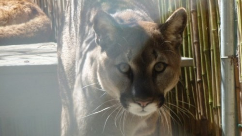 Top Cats: How Pumas and Other Apex Predators' Populations Affect The Big Biodiversity Picture Apex predators exert far-reaching effects on ecosystems that surface just decades after their disappearance. Santa Cruz researchers hope to understand how human activities and development affect how pumas use the landscape to help mitigate conflicts and plan for the species' long-term survival. Read more from Liza Gross at KQED Science.