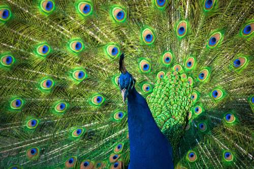 peacock by raspberrytart on Flickr.