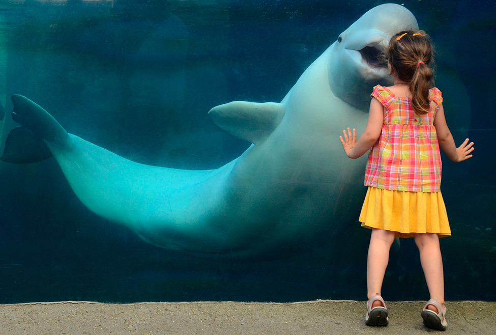 Photo of the Day: My daughter kissing a beluga whale through the thick glass at the Mystic Aquarium in Connecticut. Photo by: Andrey Antov (Oxford, Connecticut); Mystic Aquarium, Connecticut