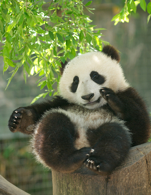 sdzoo:  The mellow Mr. Wu on Sunday by Mollie Rivera  :D