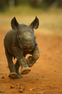 getawildlife:  Kapela, the rhino calf (by animalrescueblog)
