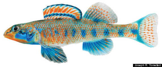 "Etheostoma Obama, Fish Named After The President, Is A Newly Discovered Freshwater Darter ""…The researchers decided to name each of the newfound darters after a U.S. president or vice president with environmental cred, and the first name on their list was Obama. Thus, the spangled darter — a 2-inch Tennessee native whose males have vivid orange, blue and green scales — will be Etheostoma obama from now on. As Layman and Mayden tell Scientific American, Obama earned the honor by taking a more holistic approach to ecological issues than most of his predecessors. ""We chose President Obama for his environmental leadership, particularly in the areas of clean energy and environmental protection, and because he is one of our first leaders to approach conservation and environmental protection from a more global vision,"" the researchers said. Aside from Obama, Layman and Mayden named the other darters after three presidents and a VP who are also known for making conservation a priority: Theodore Roosevelt (Etheostoma teddyroosevelt), Jimmy Carter (E. jimmycarter), Bill Clinton (E. clinton) and Al Gore (E. gore)…"""