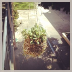 "My first attempt at a moss and succulent hanging ""basket"" :)  (at Venice Beach)"