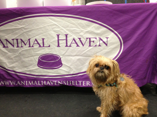 Thanks Animal Haven for hosting another fun meet up!!! Thanks to Hanzo for taking fantastic pics for us all! hanzobladeofsteel:  Thanks Animal Haven for hosting another fun meet up!!!  NYC Brussels Griffon and Affenpinscher Winter Warm Up-Meetup