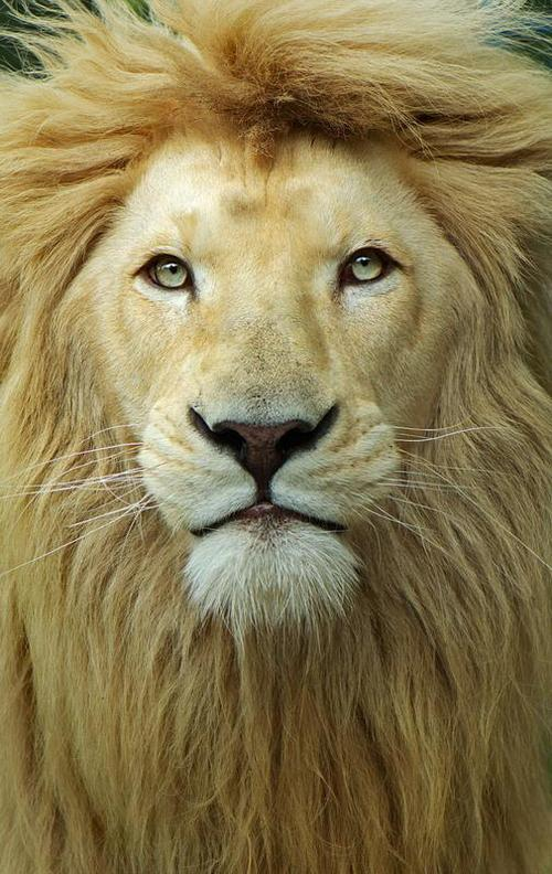 beautifulbahamian:  King of the jungle!