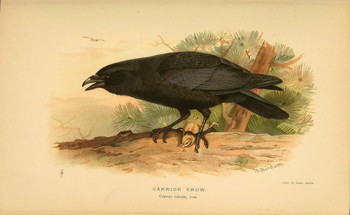 jomobimo:  Carrion Crow, Coloured Figures of the Birds of the British Islands / issued by Lord Lilford, 1885-1897