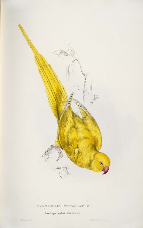 strange-geometry:  Rose Ringed Parakeet by Edward Lear
