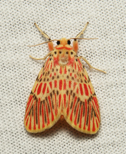 Footman Moth (Barsine orientalis, Lithosiini, Arctiinae) by itchydogimages on Flickr.