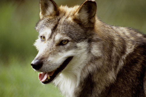 "blackbackedjackal:  BASIC FACTS ABOUT MEXICAN GRAY WOLVES  The Mexican gray wolf is a subspecies of the grey wolf, and is the most endangered type of wolf in the world. Commonly referred to as ""El lobo,"" the Mexican wolf is gray with light brown fur on its back. Its long legs and sleek body enable it to run fast.  Diet  Mexican wolves mostly eat ungulates (large hoofed mammals) like elk, white-tailed deer, and mule deer. They are also known to eat smaller mammals like javelinas, rabbits, ground squirrels and mice. Population  After being wiped out in the United States and with only a few animals remaining in Mexico, Mexican wolves were bred in captivity and reintroduced to the wild in Arizona beginning in 1998. There are only about 300 Mexican wolves in captivity. The goal of the reintroduction program was to restore at least 100 wolves to the wild by 2006; unfortunately, at the end of 2012 there were still only approximately 75 wolves. Range  Mexican wolves once ranged widely from central Mexico  throughout  the southwestern US. Today, the Mexican wolf has been reintroduced to the Apache National Forest in southeastern Arizona and may move into the adjacent Gila National Forest in western New Mexico as the population expands.  Behavior  Mexican wolves prefer to live in mountain forests, grasslands and shrublands, and are very social animals. They live in packs, which are complex social structures that include the breeding adult pair (the alpha male and female) and their offspring. A hierarchy of dominant and subordinate animals within the pack help it to work as a unit. Reproduction  Mating Season: Mid February-mid March. Gestation: 63 days. Litter size: 4-7 pups. Pups are born blind and defenseless. The pack cares for the pups until they mature at about 10 months of age. (MORE ON THE MEXICAN GRAY WOLF)"