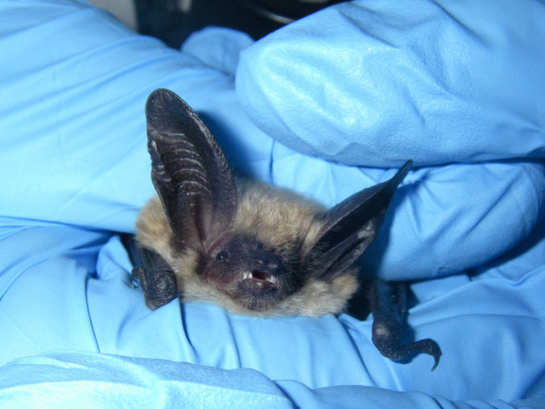 Long eared Myotis (by onecareyschool)