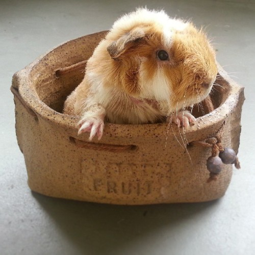 thedailyguineapig:   Mika!  Nugget in a pot!