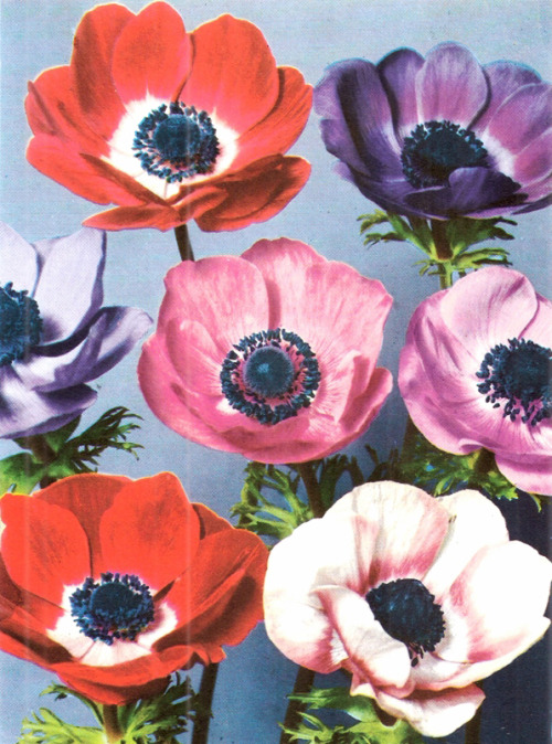 Anemones have to be my new favorite flowers. I especially love the dark purple ones.