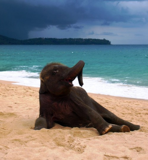 youngblackandvegan:   magicalnaturetour:  Young elephant playing on a beach in Phuket, Thailand by John Lindie   so adorable and happy  This is so gonna be at Hollywood Beach in about a month.