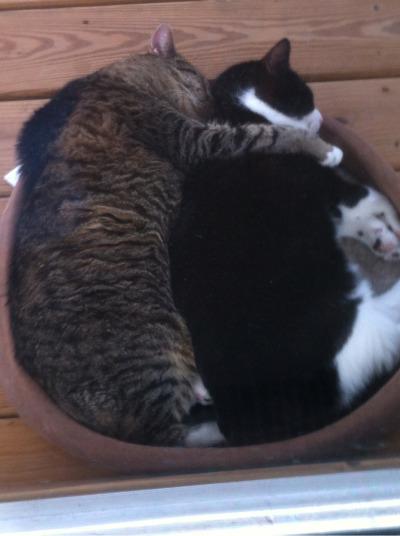 かわいい!抱き合う猫の画像に ...