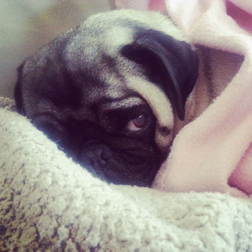 angelajaynevm:  Too cold to get outta bed mom!! #pug #puglife