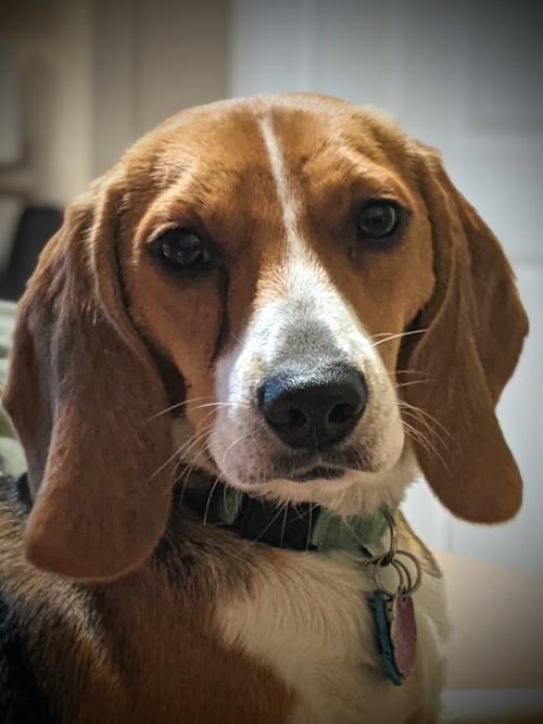 daily-beagle