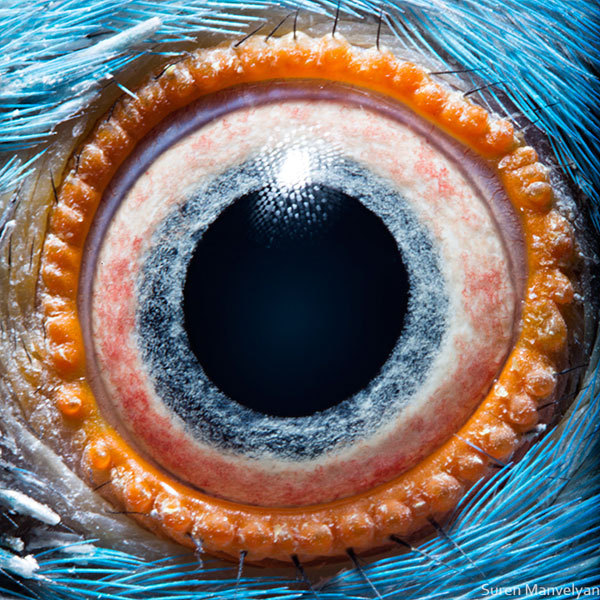 Surreal Macro Photographs of Animal Eyes Photographer Suren Manvelyan's portfolio includes series on human and animal eyes. He is a talented landscape and portrait photographer as well. In 2001 he received his PhD in theoretical physics from Yerevan State University. Pictured is a closeup of a parrot eye. Check out Twisted Sifter for more amazing photos and info on Manvelyan. Ed note: The science behind Suren Manvelyan's human eye photos.